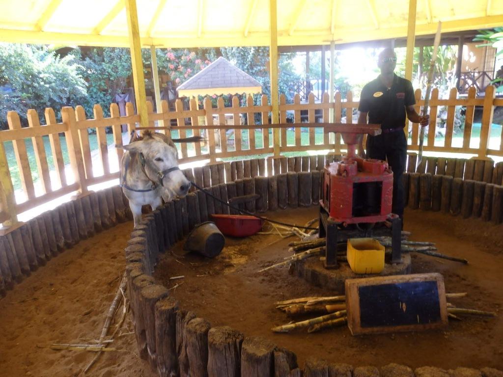 donkey maneuvers the apparatus to juice cane